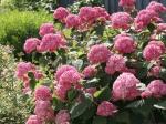 Гортензия древовидная Pink Annabelle
